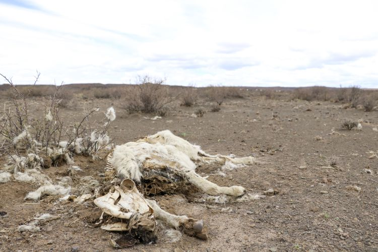 The carcass of a dorper sheep lies in the veld on Wynand Vivier's farm outside Beaufort West. Picture: Aletta Harrison/News24